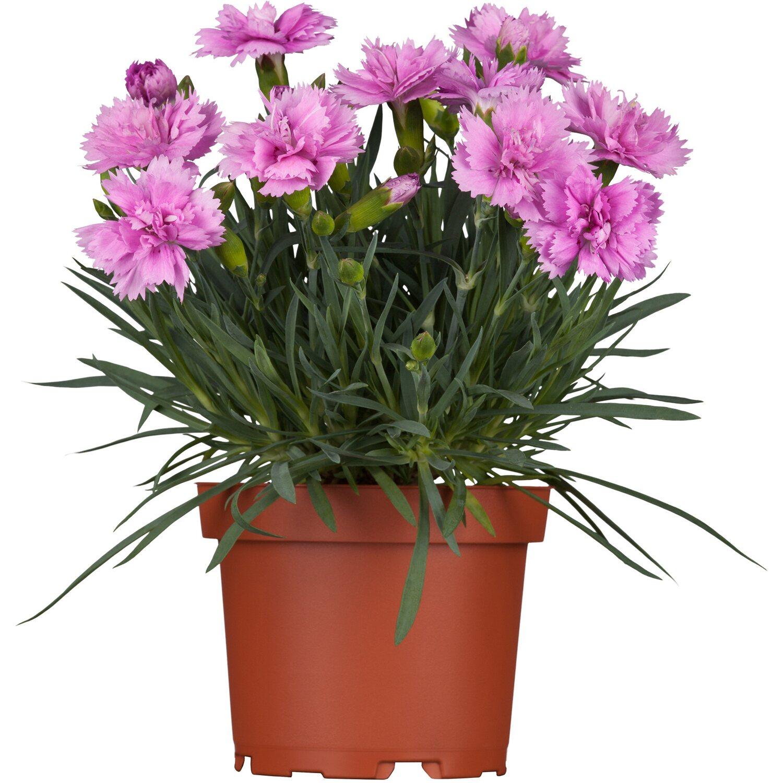 garten pfingst nelke dinetta rosa topf ca 13 cm dianthus kaufen bei obi. Black Bedroom Furniture Sets. Home Design Ideas