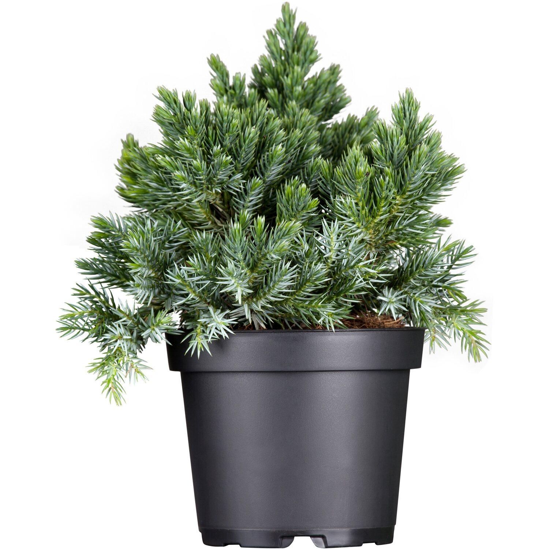 OBI Zwerg-Wacholder Blue Star Höhe ca. 5 - 10 cm Topf ca. 1 l Juniperus