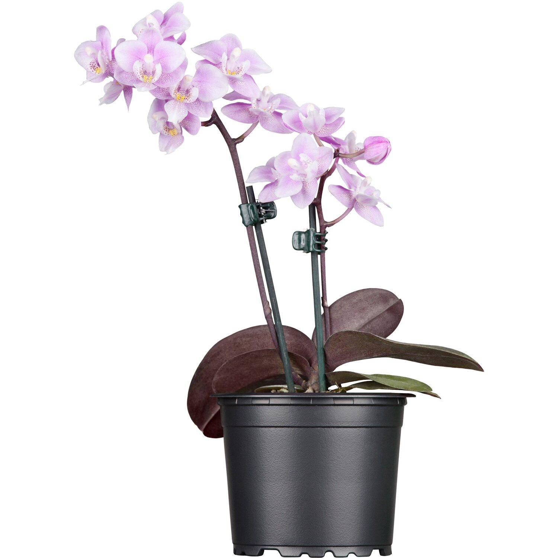 schmetterlings orchidee grandiflora 2 trieber lila phalaenopsis kaufen bei obi. Black Bedroom Furniture Sets. Home Design Ideas