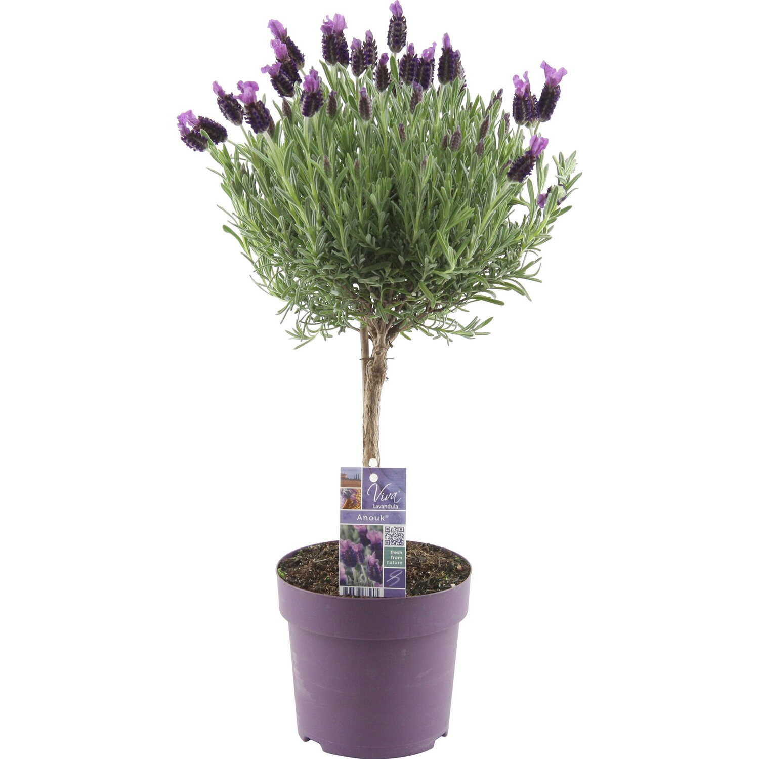 obi lavendel anouk auf stamm topf ca 15 cm lavandula. Black Bedroom Furniture Sets. Home Design Ideas