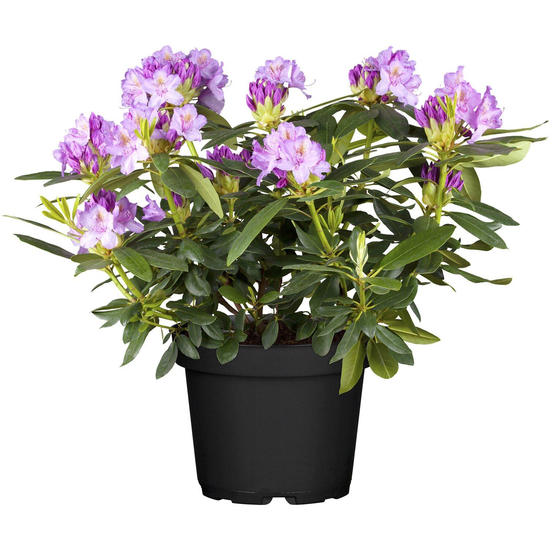 obi catawba rhododendron grandiflorum violett h he ca 30 40 cm topf ca 5 l kaufen bei obi. Black Bedroom Furniture Sets. Home Design Ideas