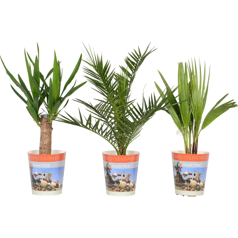 palmen mit topfcover topf ca 15 cm kaufen bei obi. Black Bedroom Furniture Sets. Home Design Ideas