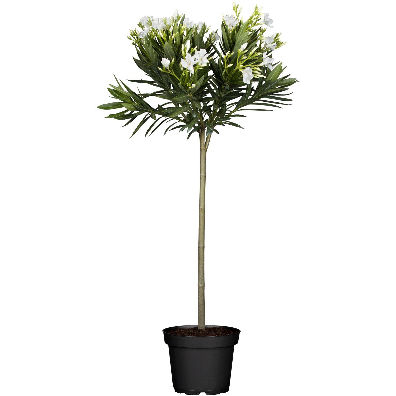 oleander stamm wei topf ca 20 cm nerium kaufen bei obi. Black Bedroom Furniture Sets. Home Design Ideas