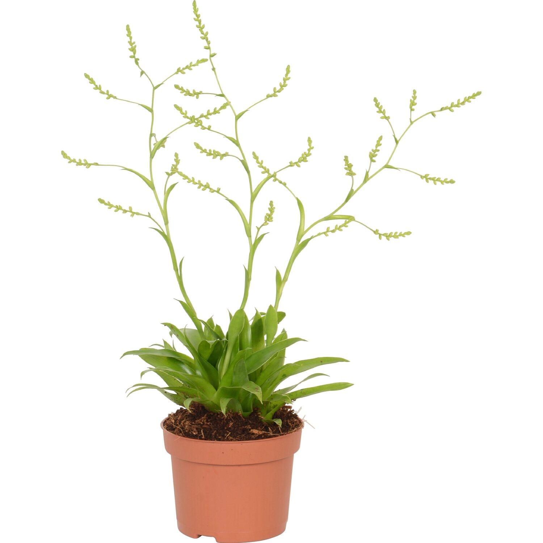 bromelien botanic mix topf ca 10 5 cm kaufen bei obi. Black Bedroom Furniture Sets. Home Design Ideas