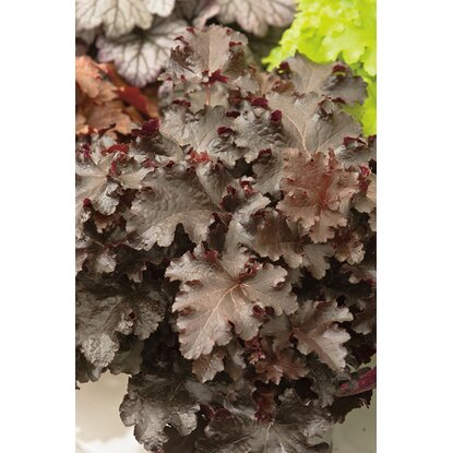 "OBI Purpurglöckchen ""Black Beauty"" Purpurrot Topf-Ø ca. 15 cm Heuchera"