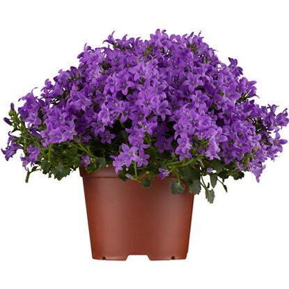 dalmatiner polster glockenblume blau violett topf ca 11 cm campanula kaufen bei obi. Black Bedroom Furniture Sets. Home Design Ideas