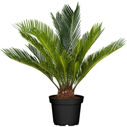 palmfarn topf ca 14 cm cycas revoluta kaufen bei obi. Black Bedroom Furniture Sets. Home Design Ideas