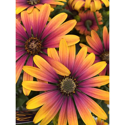 "OBI Kapkörbchen ""Purple Sun"" Orange-Purpur Topf-Ø 12 cm Osteospermum"