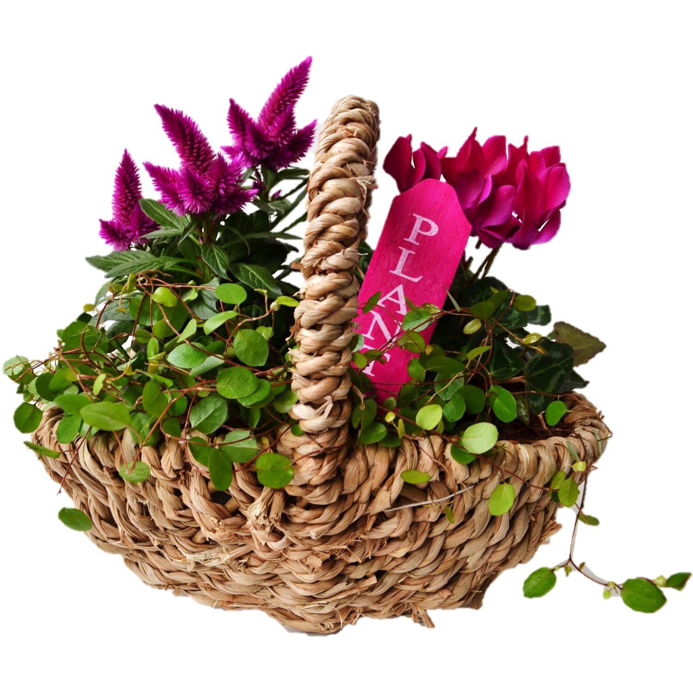bepflanzte schale herbst erntezauber 3 pflanzen rosa ca. Black Bedroom Furniture Sets. Home Design Ideas