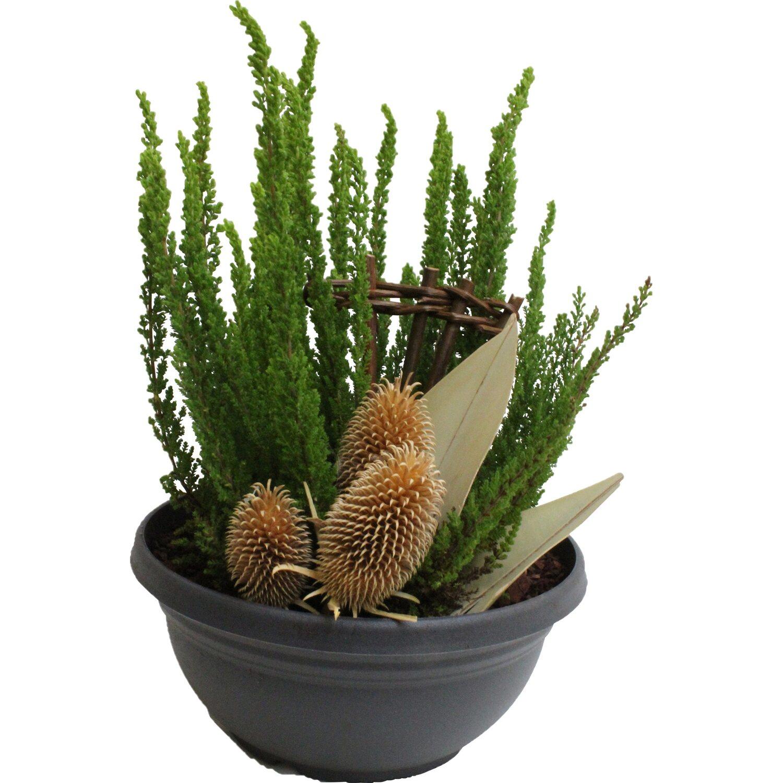 bepflanzte grabschale tekuschale anthrazit 1 pflanze ca 20 cm x 25 cm kaufen bei obi. Black Bedroom Furniture Sets. Home Design Ideas