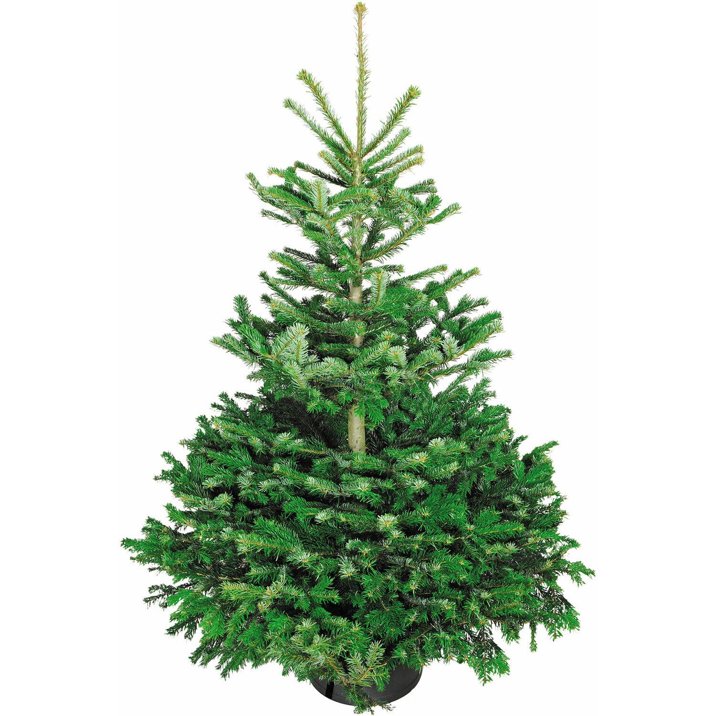 Weihnachtsbaum Herkunft.Weihnachtsbaum Echte Nordmanntanne 125 150 Cm Hoch Gesägt