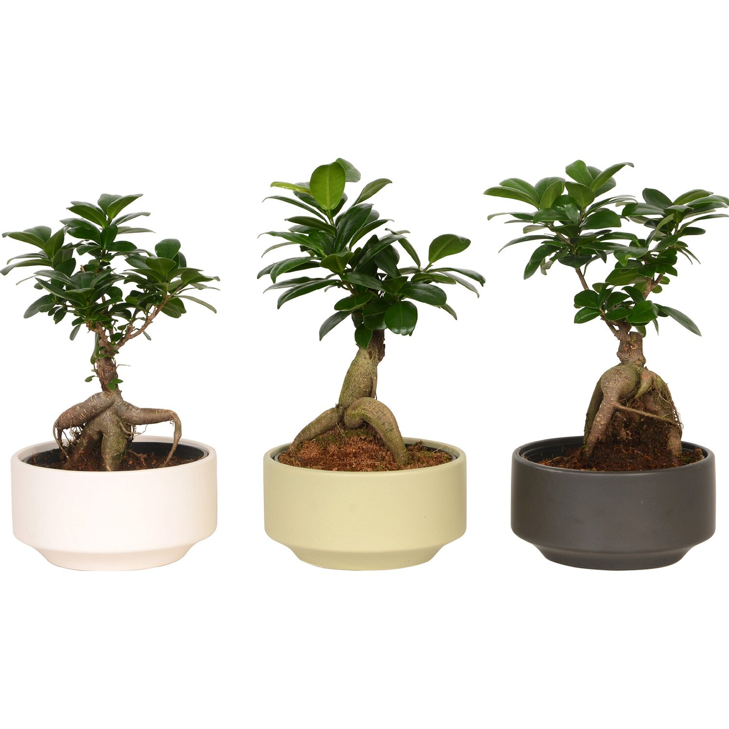 bonsai ficus ginseng im keramik topf ca 15 cm kaufen. Black Bedroom Furniture Sets. Home Design Ideas
