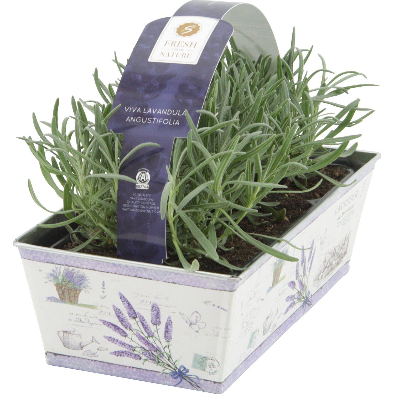 Obi lavendel 6er set in zink topf ca 1 cm lavandula - Duftende gartenpflanze ...