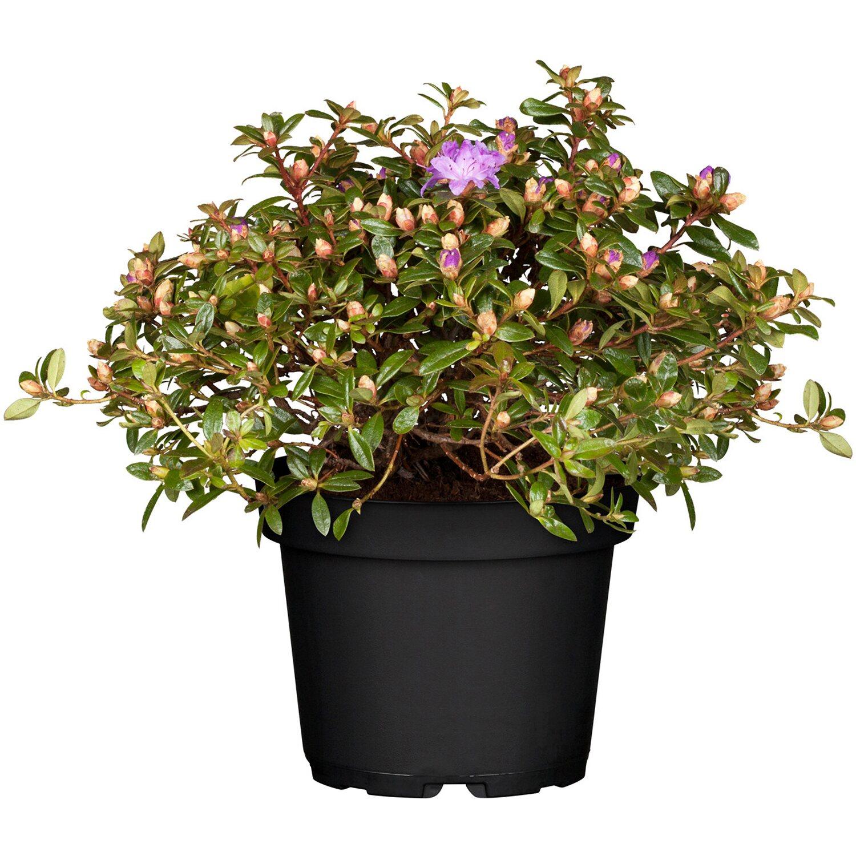 Zwergalpenrose Blauviolett Höhe ca. 5 - 10 cm Topf ca. 2 l Rhododendron