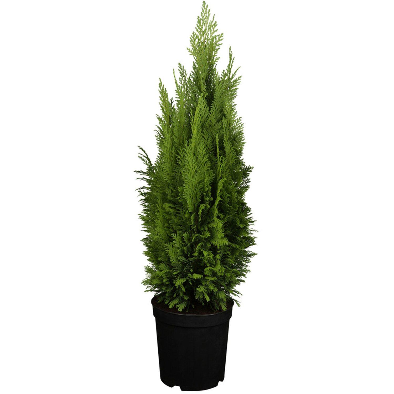 OBI Kegelzypresse Ellwood´s Empire Höhe ca. 50 - 60 cm Topf ca. 5 l Chamaecypa | Küche und Esszimmer > Kochen und Backen > Töpfe | OBI Living Garden