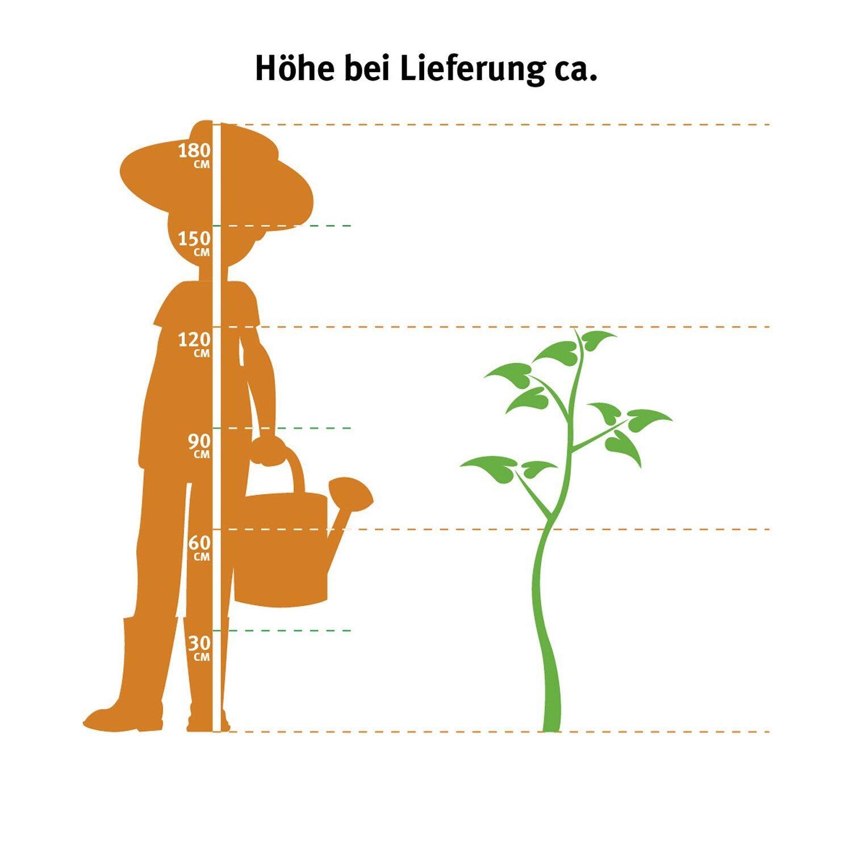 Garten Bambus Hohe 100 125 Cm Topf Ca 10 L Fargesia Murielae