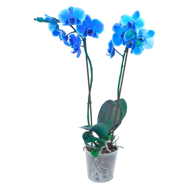 schmetterlings orchidee 2 trieber blau gef rbt. Black Bedroom Furniture Sets. Home Design Ideas