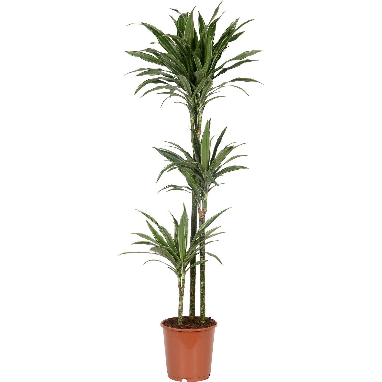 drachenbaum deremensis 3er stamm topf ca 24 cm. Black Bedroom Furniture Sets. Home Design Ideas