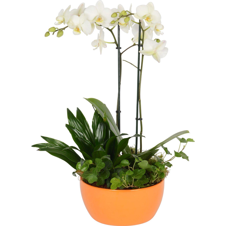 schmetterlingsorchidee und gr npflanzen in keramik topf. Black Bedroom Furniture Sets. Home Design Ideas