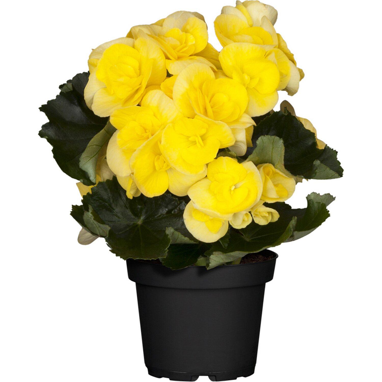 elatior begonie yellow stone gelb gef llt topf ca 14 cm begonia kaufen bei obi. Black Bedroom Furniture Sets. Home Design Ideas