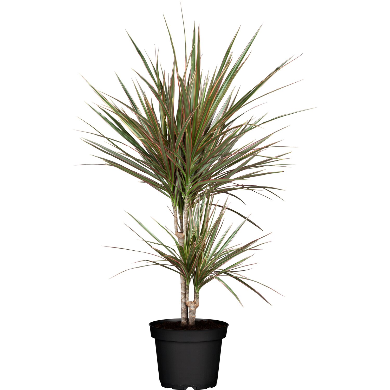 Drachenbaum Marginata Topf Ca 24 Cm Dracaena Kaufen