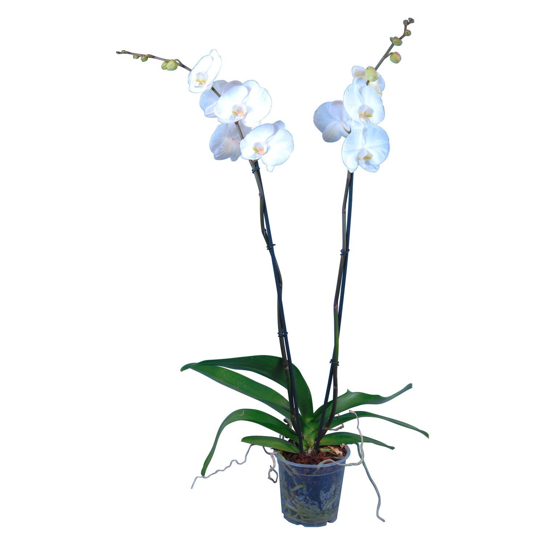 alles ber orchideen preisvergleiche erfahrungsberichte. Black Bedroom Furniture Sets. Home Design Ideas