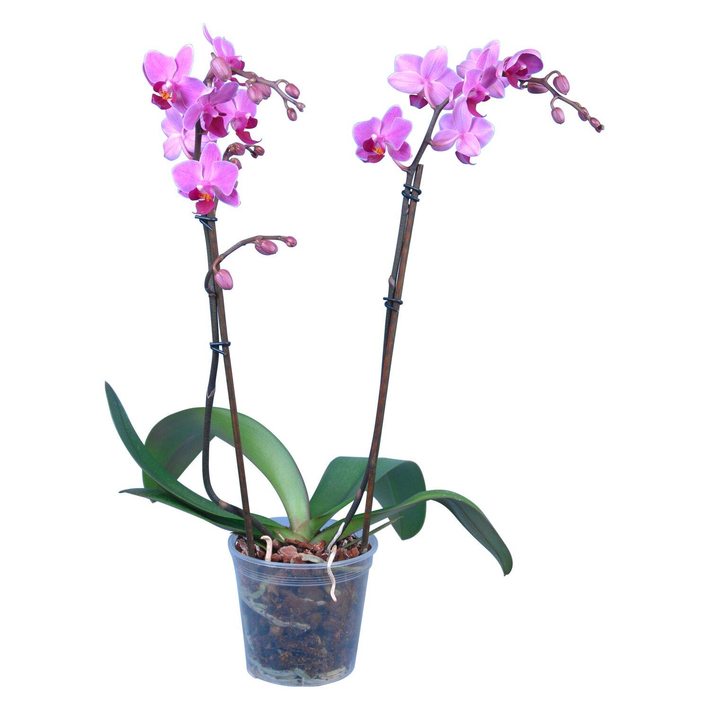 schmetterlings orchidee multiflora 2 trieber 18 bl ten. Black Bedroom Furniture Sets. Home Design Ideas
