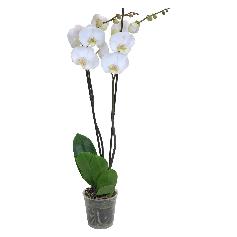 schmetterlings orchidee 2 trieber 18 bl ten wei. Black Bedroom Furniture Sets. Home Design Ideas