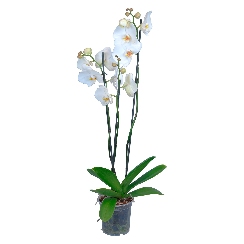 schmetterlings orchidee 3 trieber wei phalaenopsis kaufen. Black Bedroom Furniture Sets. Home Design Ideas