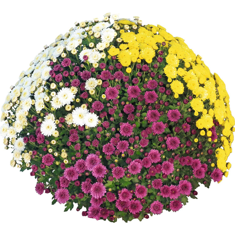 Obi Dreifarbige Herbst Chrysantheme Topf O Ca 19 Cm Chrysanthemum