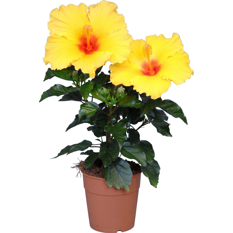 HibisQs verschiedene Farben Topf ˜ ca 12 cm Hibiskus kaufen bei OBI