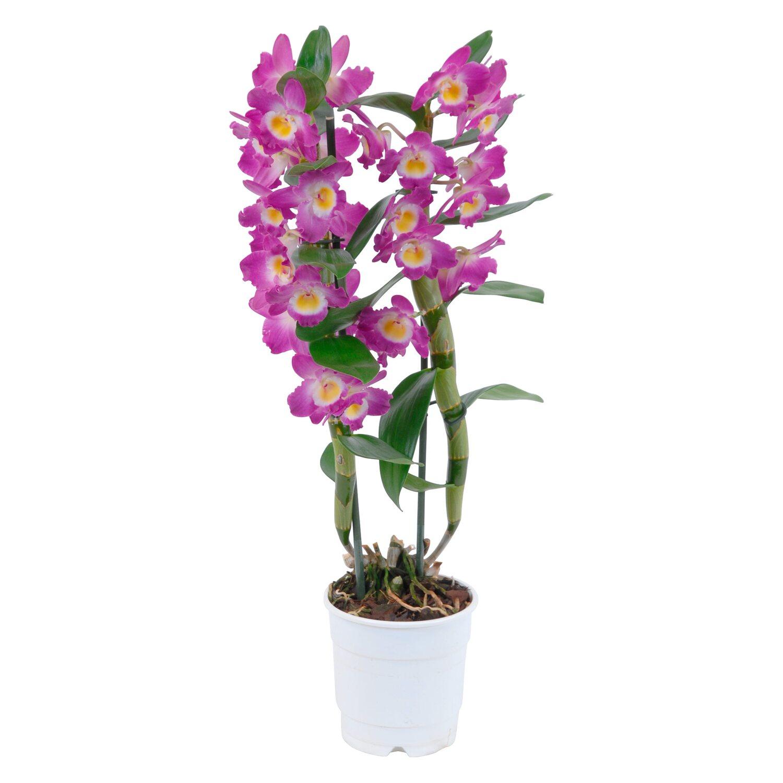 Bambus Orchidee Star Class 2 Trieber Lila Dendrobium Kaufen Bei Obi