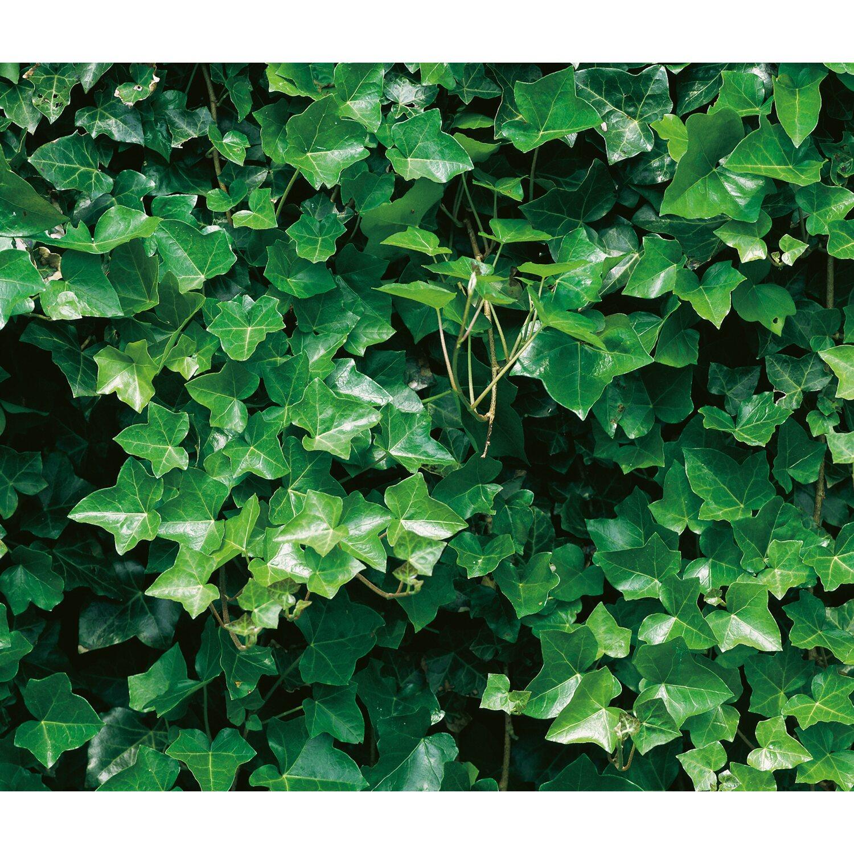 Grossblattriger Irischer Efeu Hohe Ca 60 80 Cm Topf Ca 1 5 L