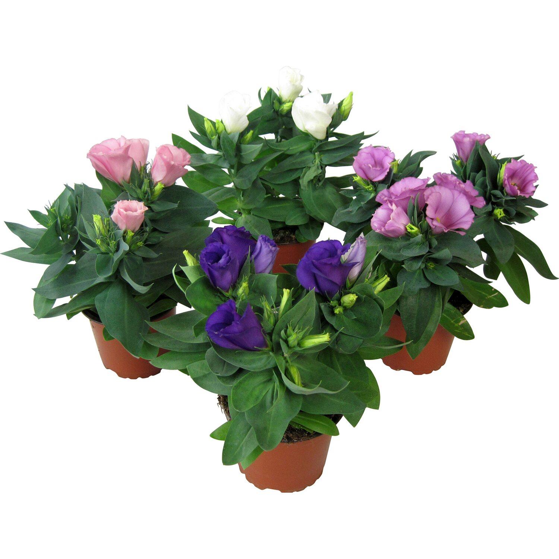 lisianthus farbmix topf ca 10 5 cm eustoma grandiflorum kaufen bei obi. Black Bedroom Furniture Sets. Home Design Ideas