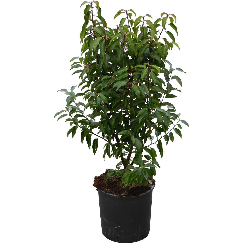 obi portugiesischer kirschlorbeer angustifolia h he cm topf 10 l prunus kaufen bei obi. Black Bedroom Furniture Sets. Home Design Ideas