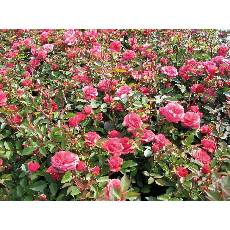 Bodendeckerrose Rosa Höhe Ca 20 Cm Topf ø Ca 13 Cm Kaufen Bei Obi