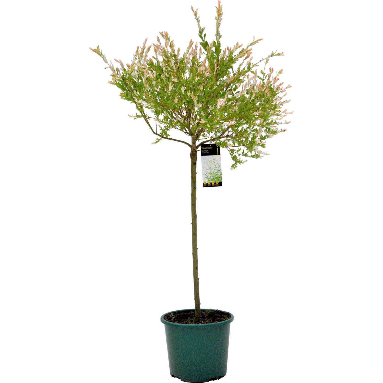 Harlekinweide Hakuro Nishiki Stammhöhe 180 Cm Topf Ca 15 L Salix