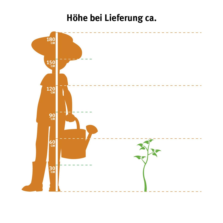 buchsbaum pyramide h he 50 60 cm topf ca 5 l buxus sempervirens kaufen bei obi. Black Bedroom Furniture Sets. Home Design Ideas