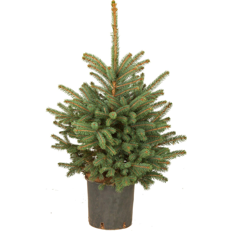 Kleiner Tannenbaum Im Topf.Blaufichte Im Topf Hohe Ca 40 Cm 60 Cm Pinaceae