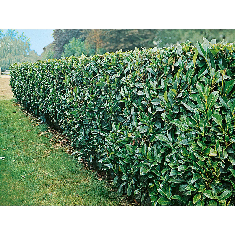 Kirschlorbeer Etna Hohe Ca 20 40 Cm Topf Ca 3 L Prunus