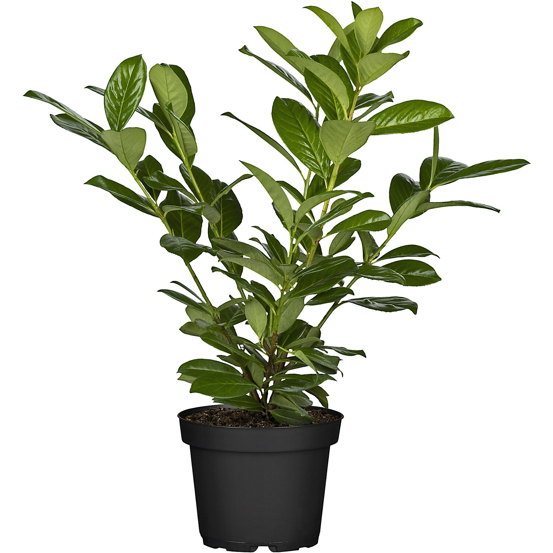 30-40 cm ab Topf Prunus Novita H/öhe 30 buschige Kirschlorbeer Pflanzen