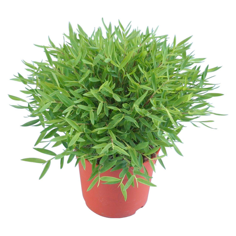 bambus topf ca 12 cm bambusa pogonatherum kaufen bei obi. Black Bedroom Furniture Sets. Home Design Ideas