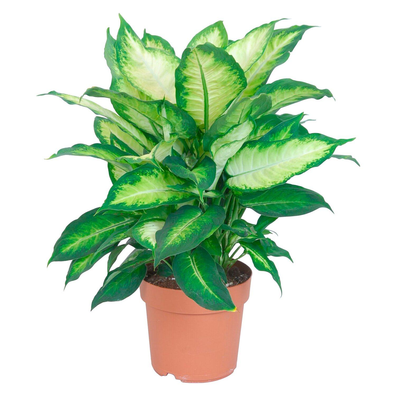 gr npflanzen online kaufen bei obi On grünpflanzen kaufen