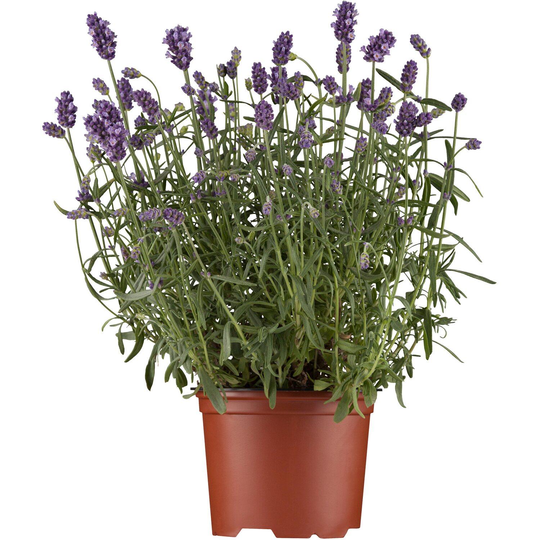 echter lavendel topf ca 14 cm lavandula kaufen bei obi. Black Bedroom Furniture Sets. Home Design Ideas