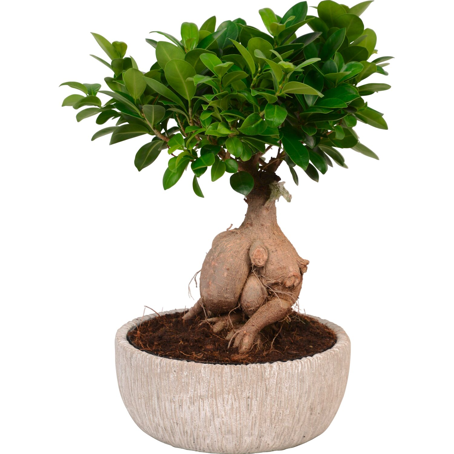 ficus ginseng topf ca 24 cm in polystone gef ficus ginseng kaufen bei obi. Black Bedroom Furniture Sets. Home Design Ideas