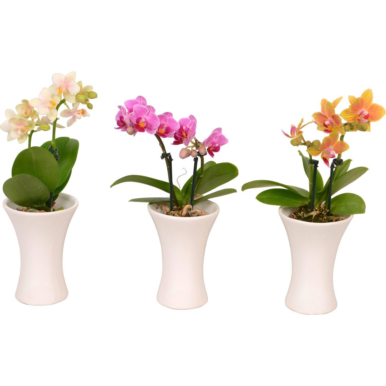 mini schmetterlings orchidee 2 trieber wei im keramik. Black Bedroom Furniture Sets. Home Design Ideas