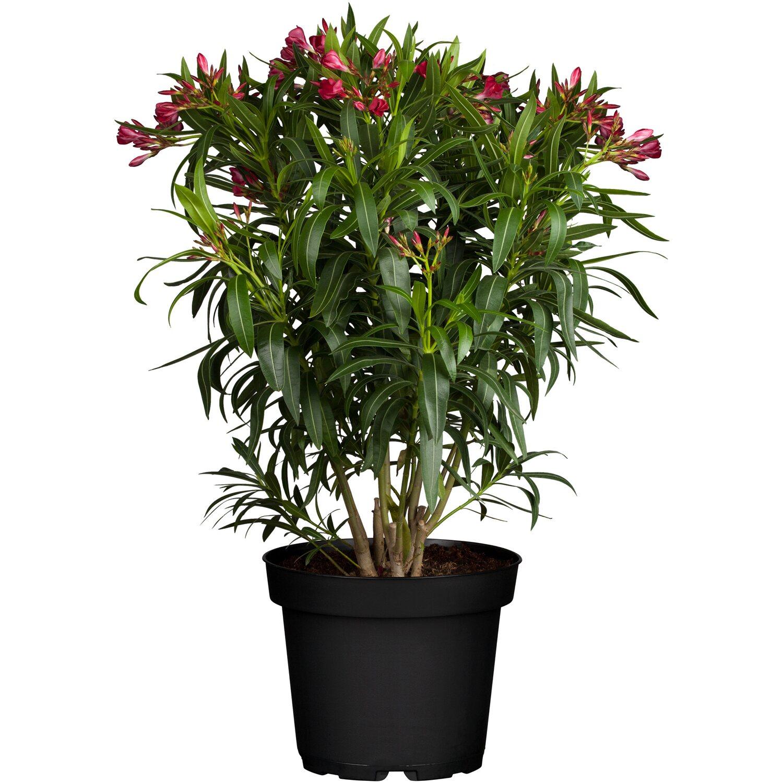 Oleander Standort Garten: Oleander Kaufen Bei OBI