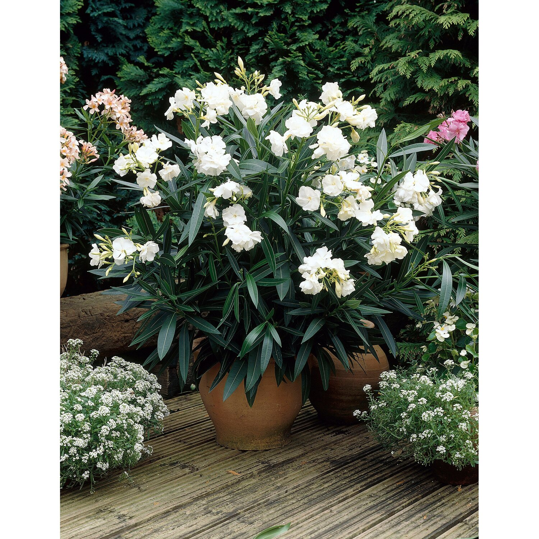 oleander wei topf ca 17 cm nerium kaufen bei obi. Black Bedroom Furniture Sets. Home Design Ideas