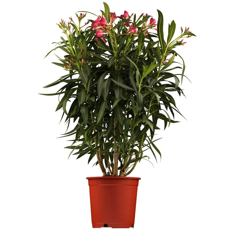 Balkonpflanzen & Terrassenpflanzen online kaufen bei OBI