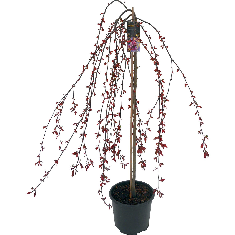 Zierapfel Royal Beauty Rosarot Stammhöhe 120 Cm Topf Ca 16 L